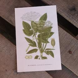 Florabild - Kirskål