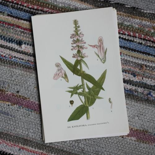 Florabild - Knölsyska