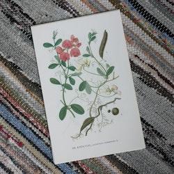 Florabild - Knölvial