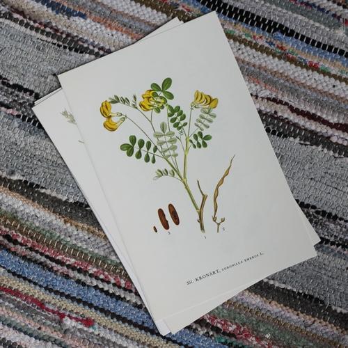 Florabild - Kronärt