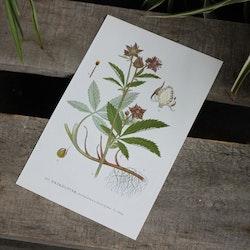 Florabild - Kråkklöver