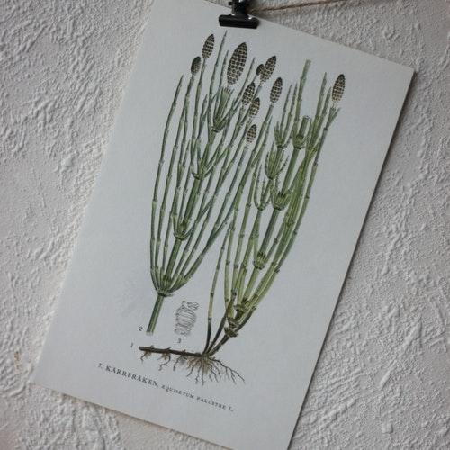 Florabild - Kärrfräken
