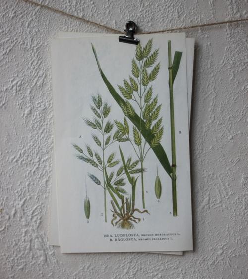 Florabild - Luddlosta, Råglosta