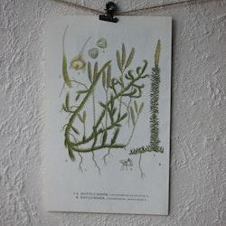 Florabild - Mattlummer, Revlummer