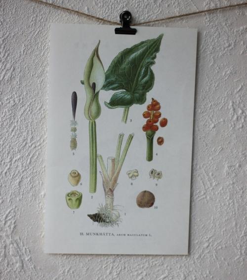 Florabild - Munkhätta
