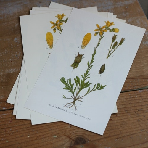 Florabild - Myrbräcka