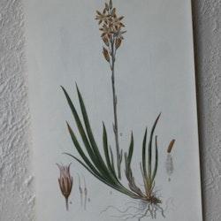 Florabild - Myrlilja