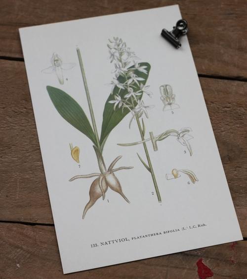 Florabild - Nattviol
