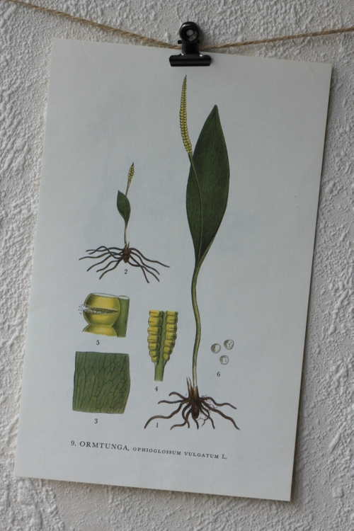 Florabild - Ormtunga