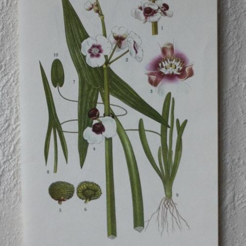 Florabild - Pilblad