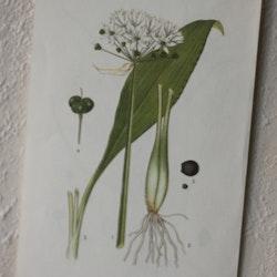 Florabild - Ramslök