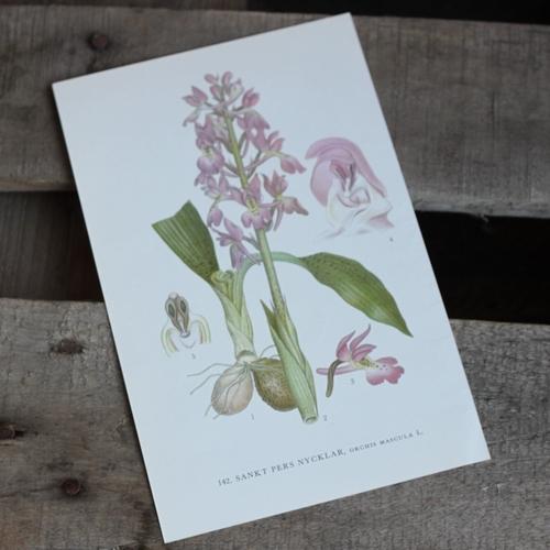 Florabild - Sankt Pers Nycklar
