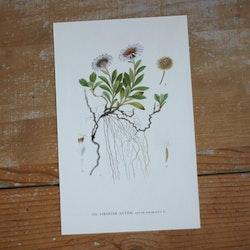 Florabild - Sibirisk Aster
