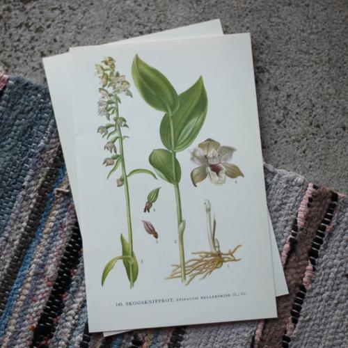 Florabild - Skogsknipprot