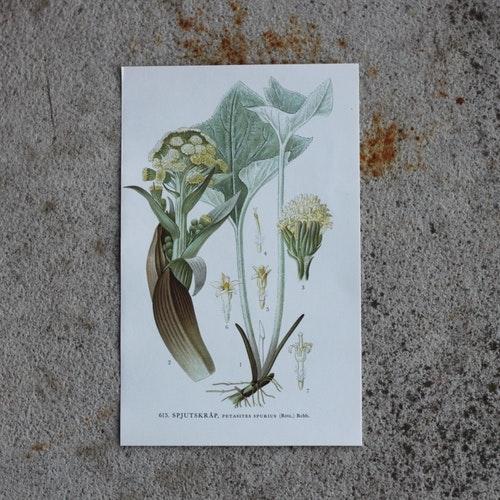 Florabild - Spjutskråp