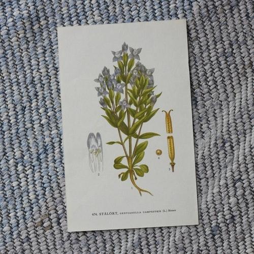 Florabild - Stålört