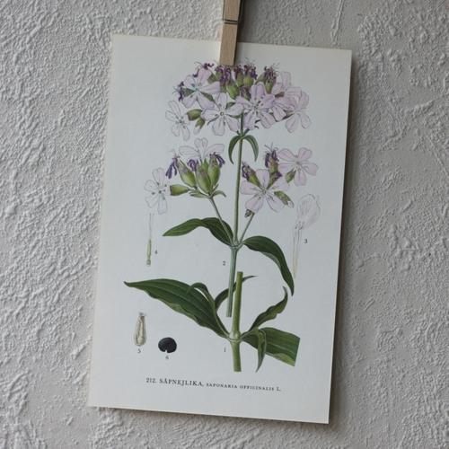 Florabild - Såpnejlika