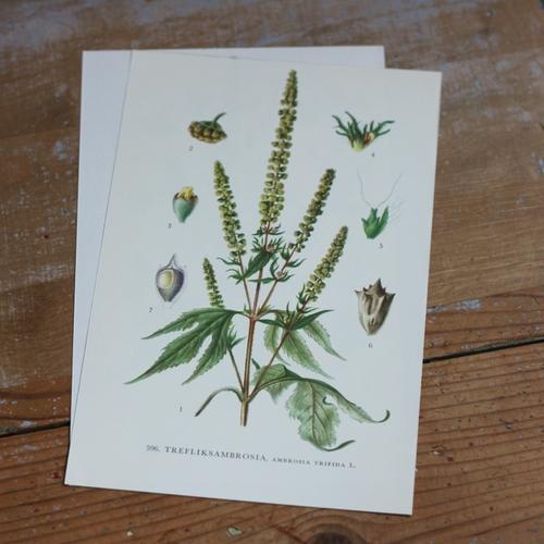 Florabild - Trefliksambrosia