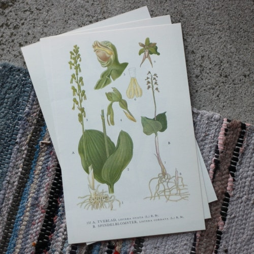 Florabild - Tveblad, Spindelblomster