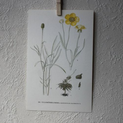 Florabild - Ullsmörblomma