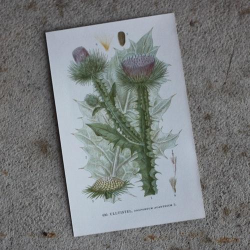 Florabild - Ulltistel