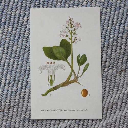 Florabild - Vattenklöver