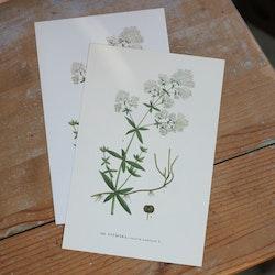 Florabild - Vitmåra