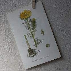Florabild - Våradonis