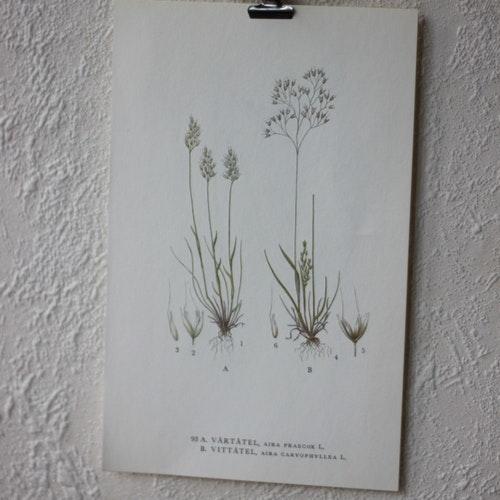 Florabild - Vårtåtel, Vittåtel