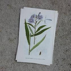 Florabild - Älvtorta