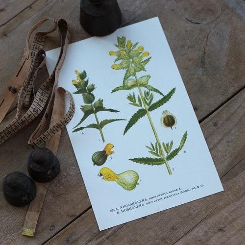 Florabild - Ängsskallra, Höskallra