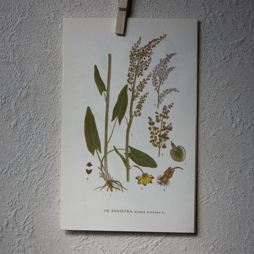 Florabild - Ängsyra