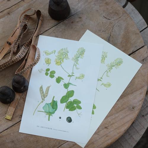Florabild - Ärtvicker
