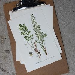 Florabild - Alvarmalört