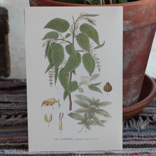 Florabild - Avenbok