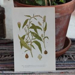 Florabild - Bitterblad, Pilört