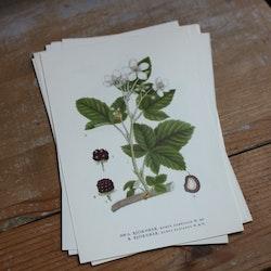 Florabild - Björnbär
