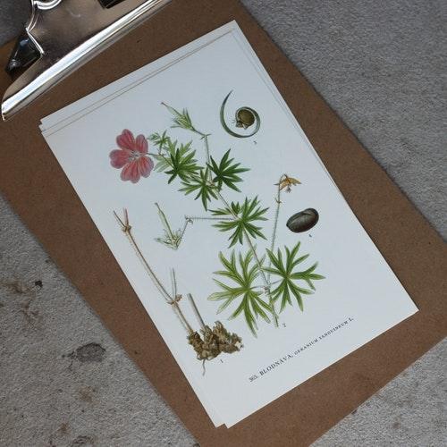 Florabild - Blodnäva
