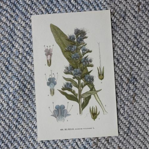 Florabild - Blåeld