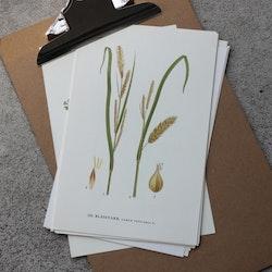 Florabild - Blåsstarr