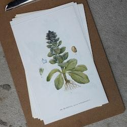 Florabild - Blåsuga