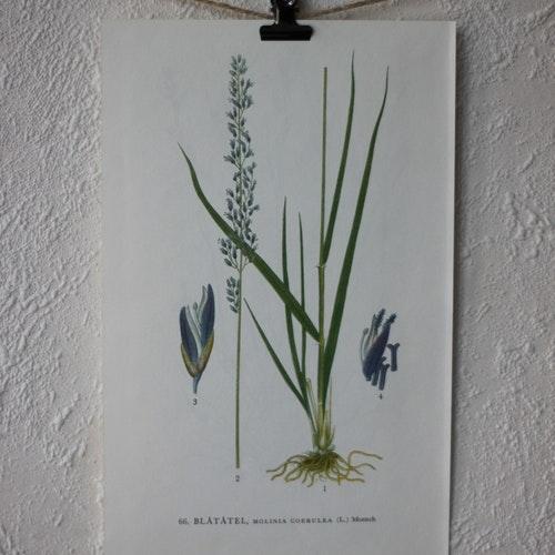 Florabild - Blåtåtel