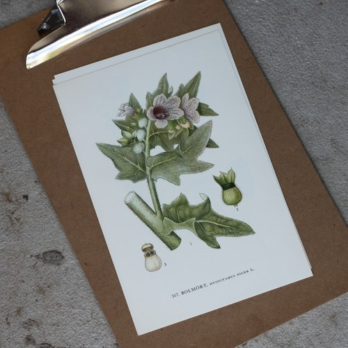 Florabild - Bolmört
