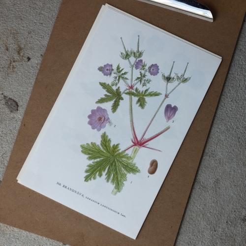 Florabild - Brandnäva