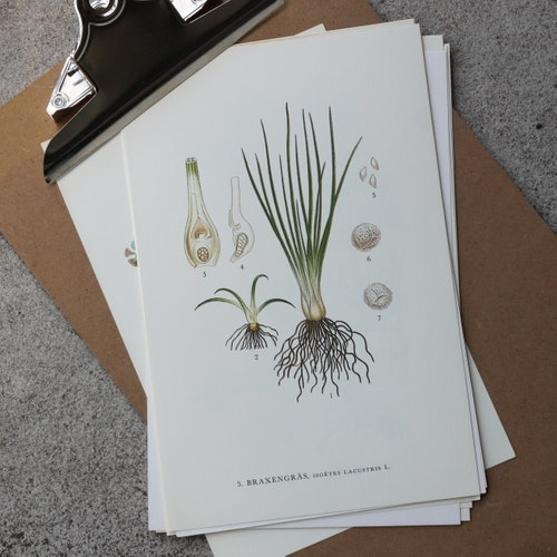Florabild - Braxengräs