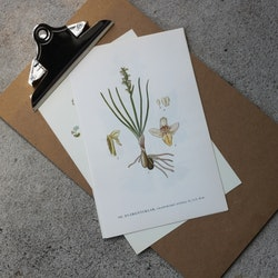 Florabild - Dvärgnycklar