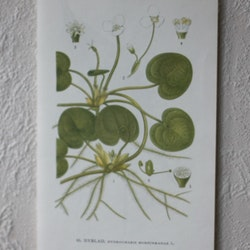 Florabild - Dyblad