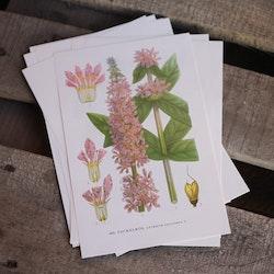 Florabild - Fackelrot