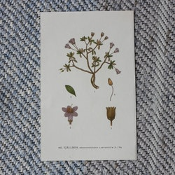 Florabild - Fjällros