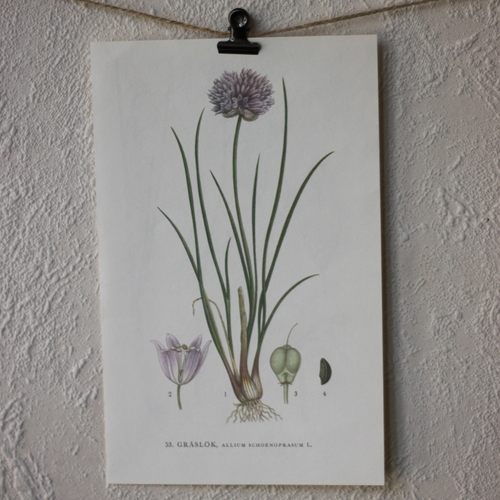 Florabild - Gräslök